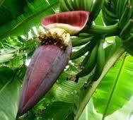 juragan jamu - jantung pisang
